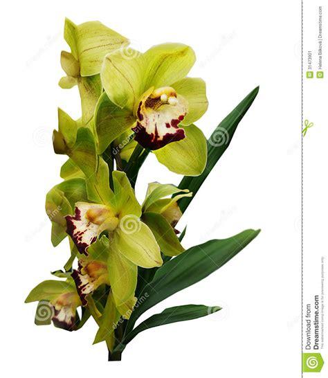 imagenes de orquideas verdes orqu 237 deas verdes ex 243 ticas del ramo imagen de archivo