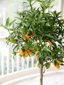 planting potted fruit trees how to plant citrus trees lemon orange tree growing guide