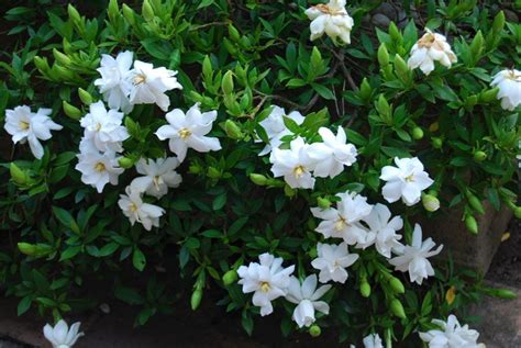 Gardenia Shrub Scents In The Garden Palmers Garden Centre