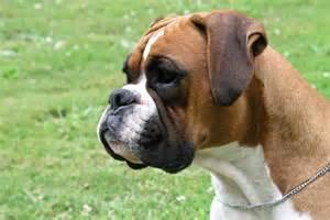 bully breeds random photos independent breeds bully breeds breeds breeds picture