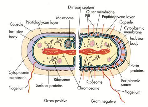 protein h streptococcus pyogenes image gallery streptococcus diagram