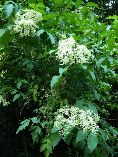 sciroppo ai fiori di sambuco the white cabbage lo sciroppo ai fiori di sambuco