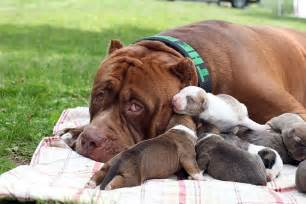 bull le world s largest pitbull has 8 puppies worth up to