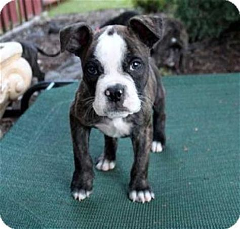 boston terrier puppies ct pin by bethan fearnley on wishing i had money