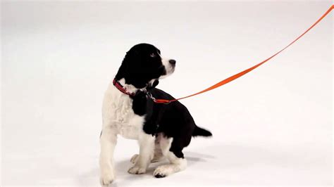 teaching puppy to come recall and teaching your to come when called funnydog tv