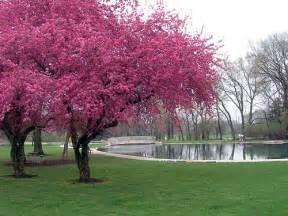 redbud trees in bloom flickr photo sharing