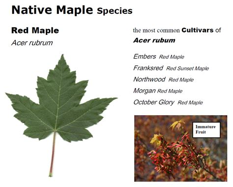 maple tree lifespan questions answers maple leaves forever