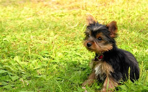 how big do teacup yorkies get grown teacup yorkie for sale with price and links for adoption