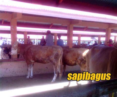 Bibit Sapi Payakumbuh perkembangan harga sapi di pasar ternak payakumbuh juli