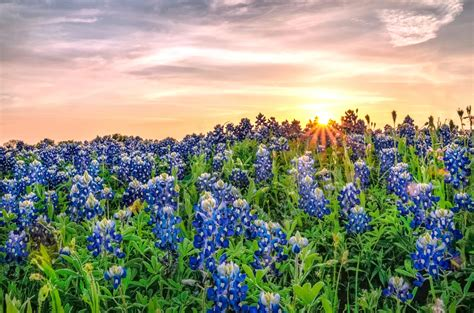 texas bluebonnets bluebonnets fun facts and trivia