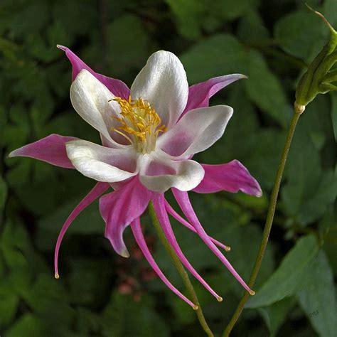 pink columbine flower photograph by ben and raisa gertsberg