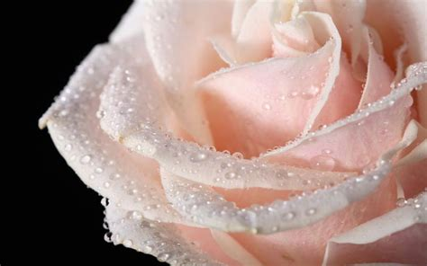 hd big cream rose   black background  water drops