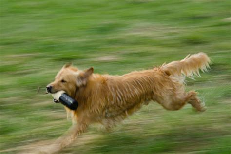 golden retriever dangerous active golden retriever manteresting