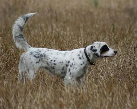 english setter dog for sale english setter puppies for sale