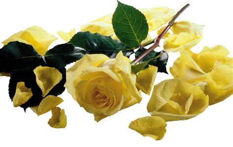 free wallpaper yellow roses beautiful yellow roses hd wallpapers free downloads