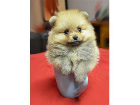 pomeranian puppies for sale in ny area pomeranian puppies for sale motorcycle review and galleries