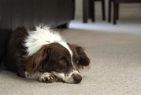 why do dogs lay on their back allergies can cause recurrent ear infections figo pet insurance