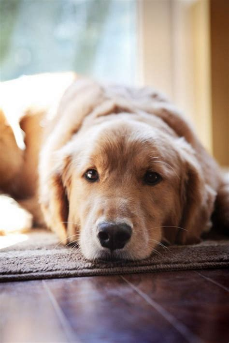 most common golden retriever names best 25 breeds ideas on beautiful