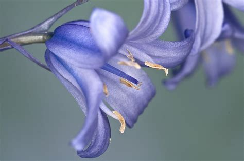 Single Duvet And Pillow Bluebell Close Up Photograph By Steve Purnell