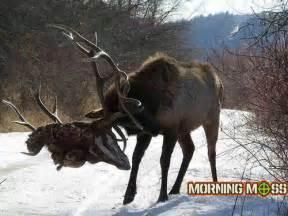 elk archives morning moss