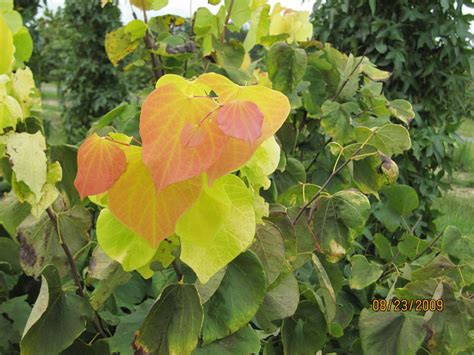 cercis hearts of gold the site gardener