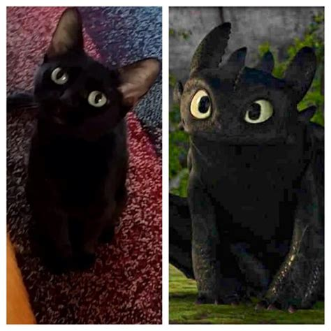 how to your cat like a kittens daily on quot my friend s cat looks like toothless from how to