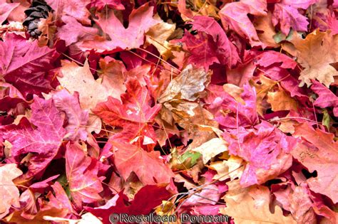 Autumn Pink autumn leaves at zion rosaleen donnan