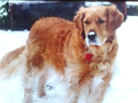 golden retriever pictures by age golden retriever photos pictures golden retrievers