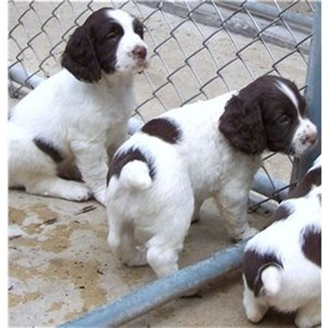 field springer spaniel puppies for sale chion field bred springer spaniel puppies for sale ad 64964