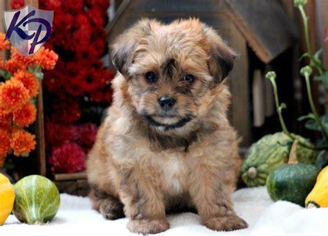 keystone puppies yorkiechon keystone puppies puppies for sale in pa