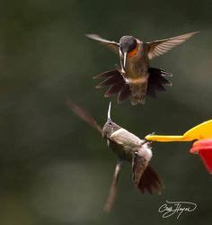 1000 images about humming birds on pinterest