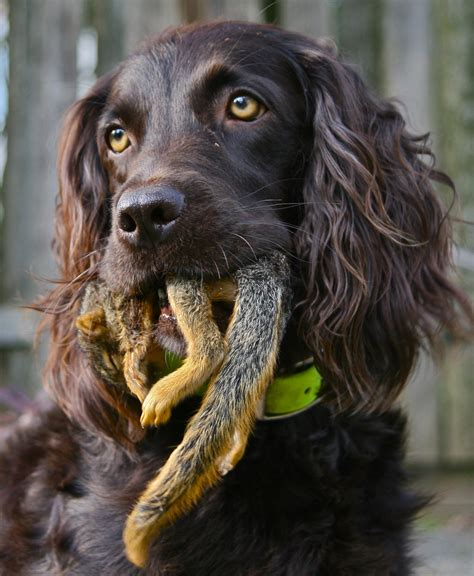 Raising Piper | A Boykin Spaniels Journey From Puppyhood ...