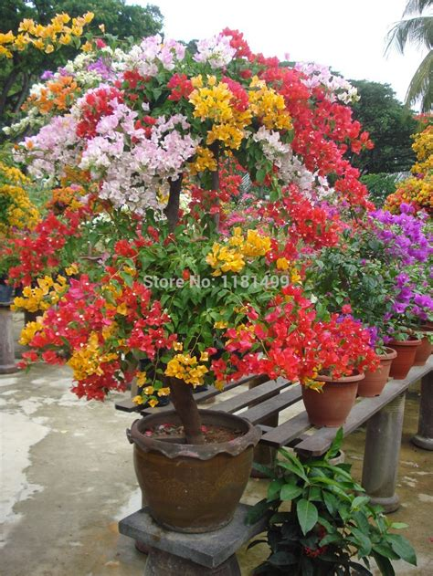Buy Garden Flowers Free Shipping 100pcs Mix Color Bougainvillea Spectabilis Willd Quot Seeds Bonsai Flower Plant Seeds