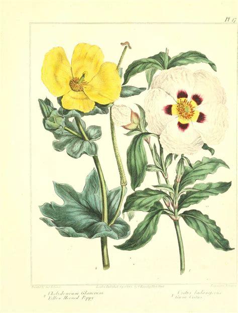vintage illustration vintage botanical illustration poppy