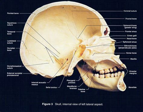 sagittal section of skull sagittal view of skull