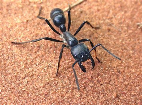 imagenes de hormigas negras giant predatory ants wired