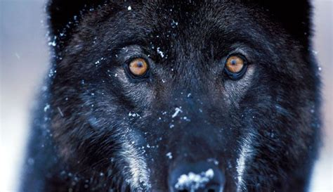 Yellowstone Brigade wolves reintroduction changes ecosystem of yellowstone