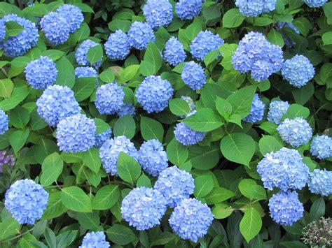 blue hydrangeas farm fresh delivered
