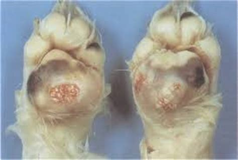 calcinosis cutis in dogs conditions of the canine foot pad vet360