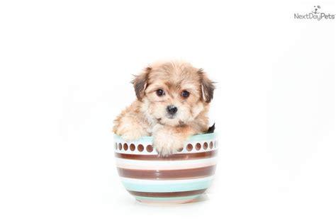 designer puppies for sale 219 best adorable designer puppies for sale images on