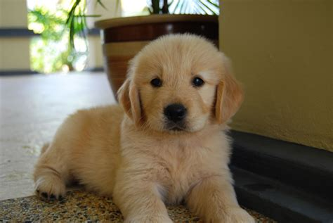 local golden retriever puppies for sale malaysia and puppy portal commercial puppies for sale local quality