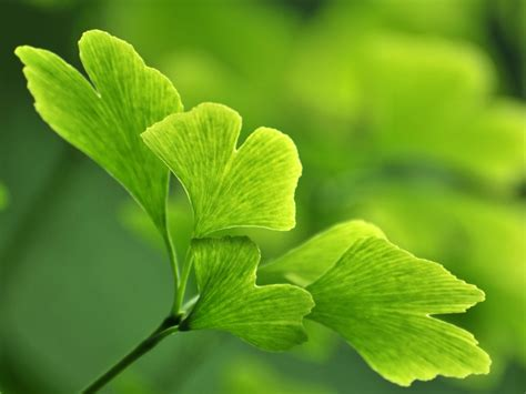 best ginkgo biloba supplements ginkgo biloba drweil
