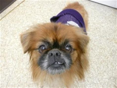 boo breed adoptions peek a boo pekingese neutered niagara falls