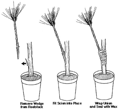 What Is Root Bridge by Grafting And Budding Nursery Crop Plants Nc State