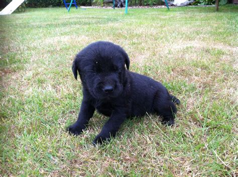 black lab puppies for sale fox and black labrador puppies for sale diss norfolk pets4homes