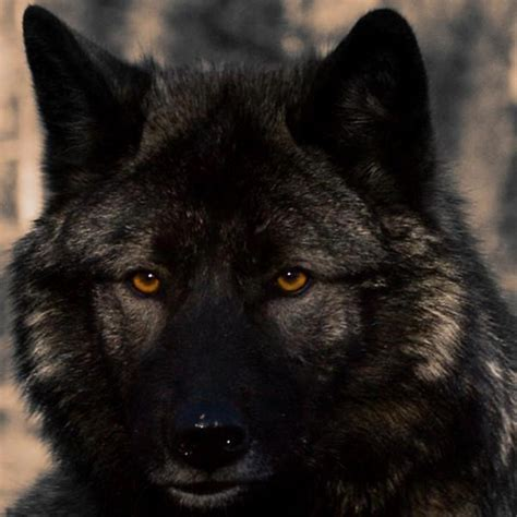 5 11 Black Wolf Black angry black wolf with blue