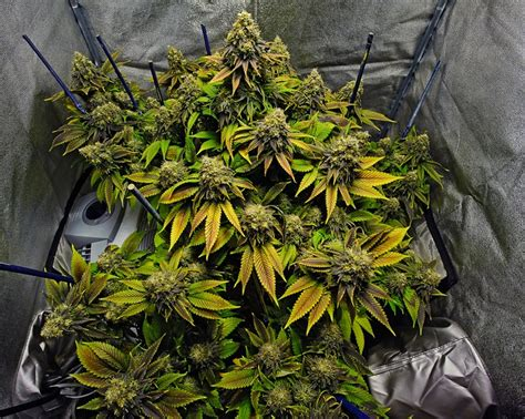 marijuana grow room cannabis grow room the stuff