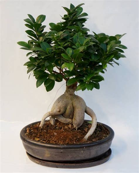 Arrosage Ficus Ginseng by The 25 Best Ficus Ginseng Bonsai Ideas On