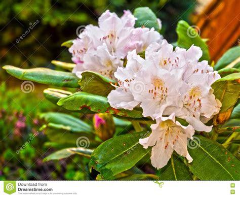 fiori di rododendro fiori di rododendro immagine stock immagine di fiore