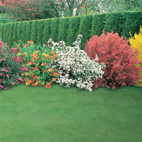 for guaranteed impact in sunny garden borders these hardy summer flowering shrubs are
